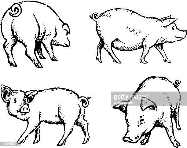 Pigs Illustration