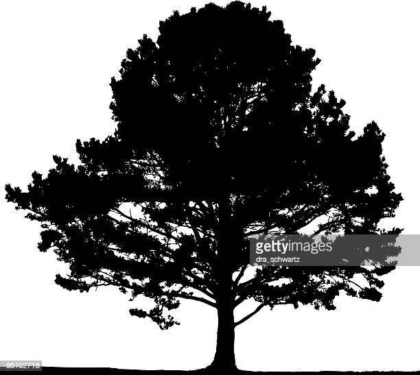 pine tree, vector - deciduous tree stock illustrations, clip art, cartoons, & icons