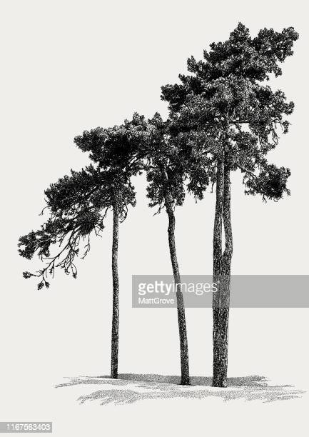 pine trees - spruce tree stock illustrations