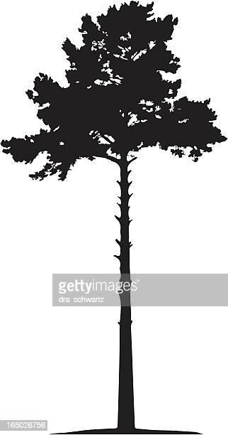 pine, vector - tall high stock illustrations
