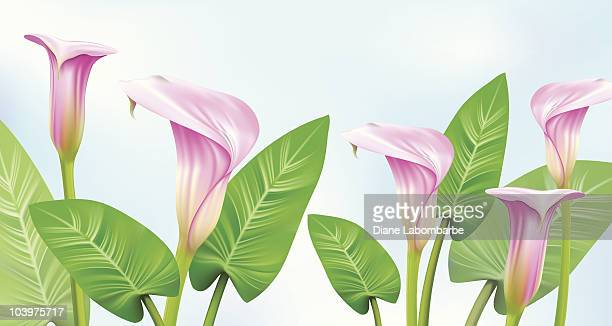 pink calla lily border - calla lily stock illustrations, clip art, cartoons, & icons