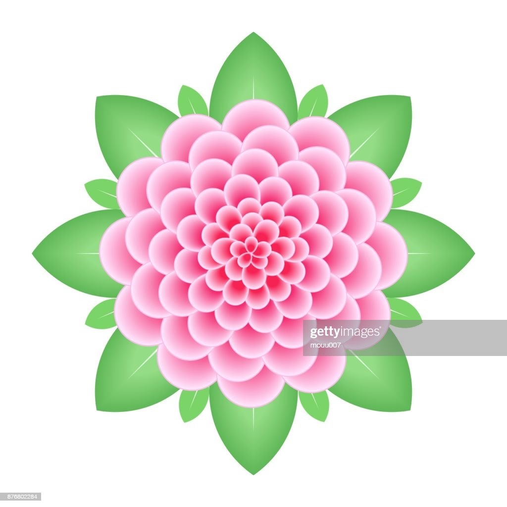 Pink dahlia flower isolated on white background.