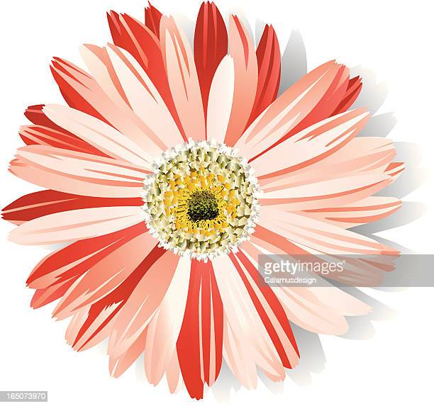 pink daisy - gerbera daisy stock illustrations, clip art, cartoons, & icons