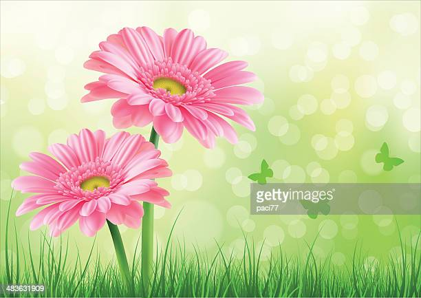 pink gerbera background - gerbera daisy stock illustrations, clip art, cartoons, & icons