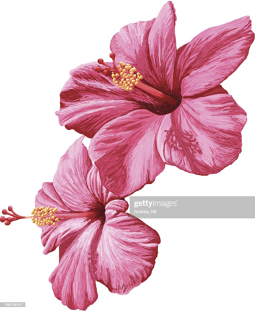 2 Pink Hibiscus Flowers On A White Background Vector Art Getty Images