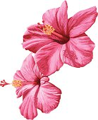 2 pink hibiscus flowers on a white background