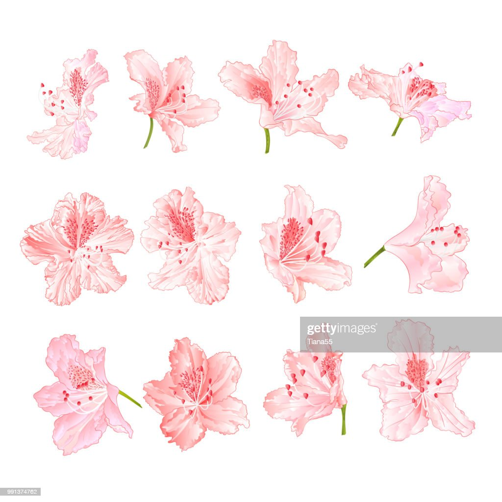 Pink light  flowers rhododendrons  mountain shrub on a white background  vintage vector illustration editable