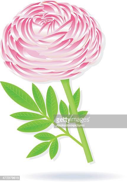 pink peony/buttercupflower (gardenflower). - buttercup stock illustrations, clip art, cartoons, & icons