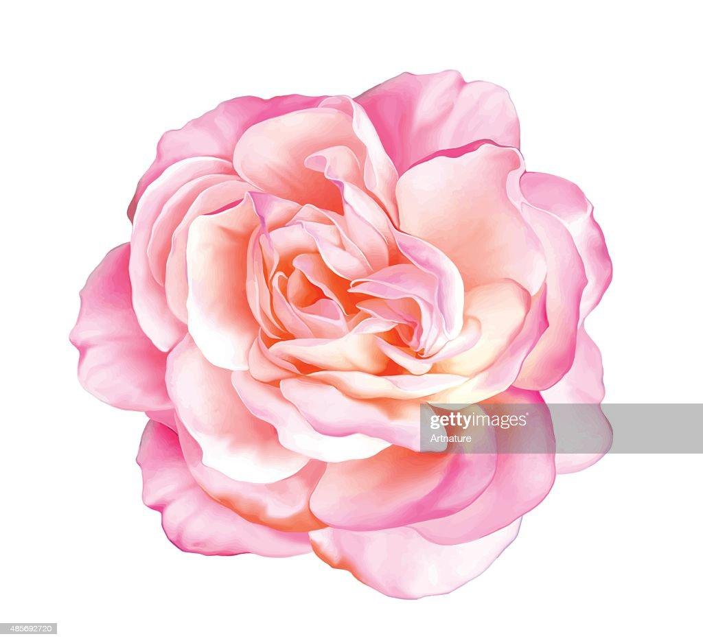 Pink rose flower. Vector