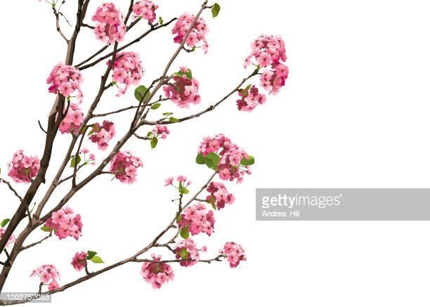 illustrations, cliparts, dessins animés et icônes de fleurs roses de cerise de sakura avec l'espace de copie, illustration de vecteur - cerisier japonais