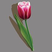 Pink tulip with a green leaf on grey background