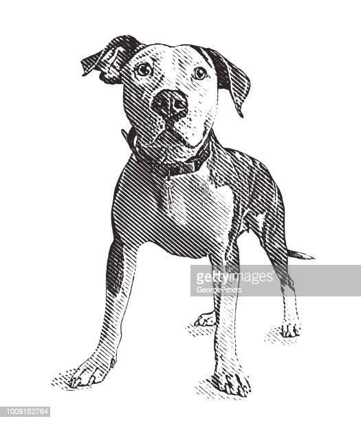 ilustraciones, imágenes clip art, dibujos animados e iconos de stock de perro pit bull terrier en refugio para animales esperando ser adoptados - pit bull terrier