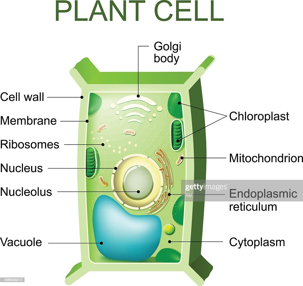 Plant Cell Anatomy Vector Art | Getty Images
