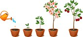 Plant growing from seed to cherry tree. Plant growth stage