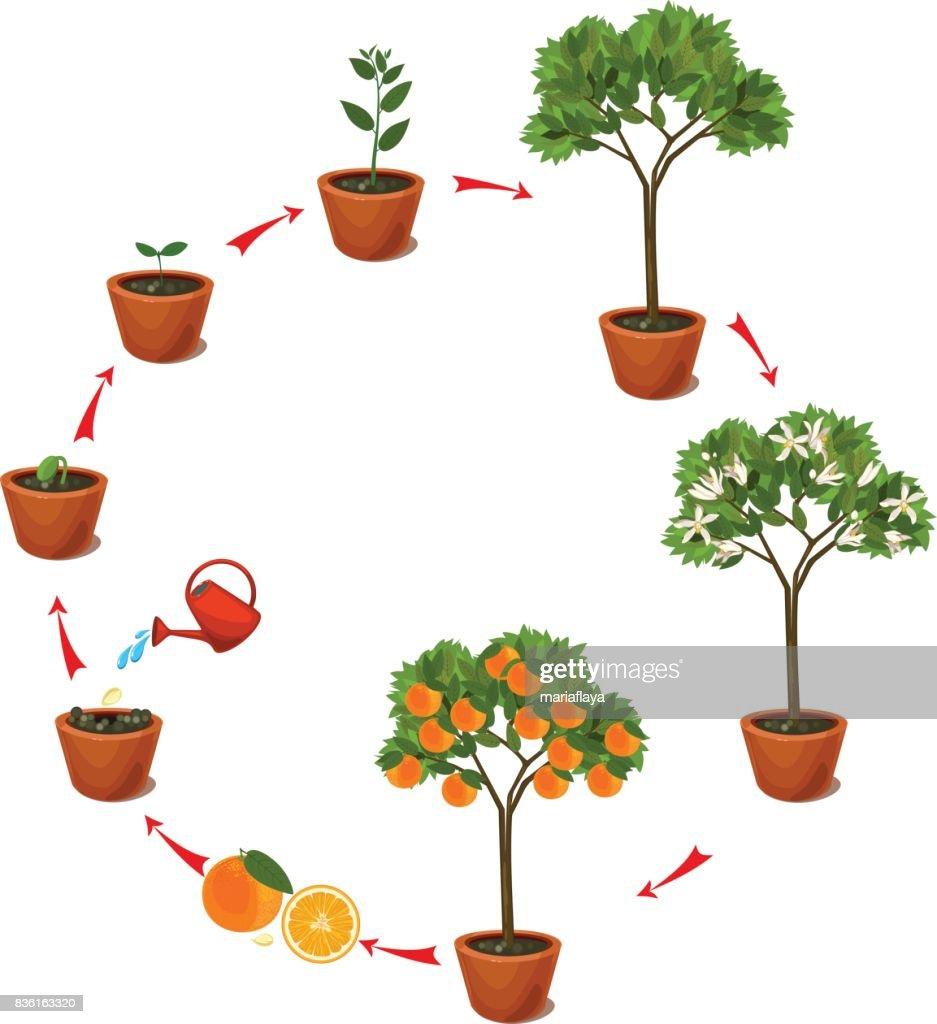 Planten Groeien Uit Zaad Aan Oranje Boom Levenscyclus