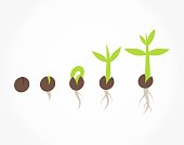 Plant seed germination stages