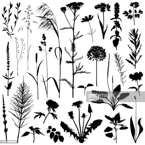 illustrations, cliparts, dessins animés et icônes de silhouette de plantes, images vectorielles - fleur de pissenlit
