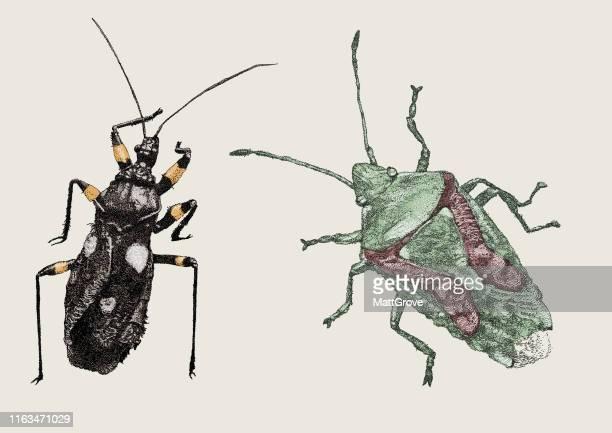 platymeris biguttats, two-spotted assassin bug & birch shieldbug - assassin bug stock illustrations, clip art, cartoons, & icons