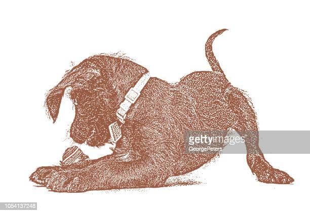 Playful Schnauzer Puppy