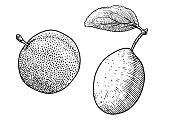 Plum illustration, drawing, engraving, ink, line art, vector