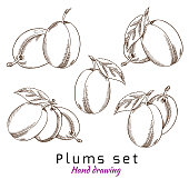 Plums, vector hand drawing