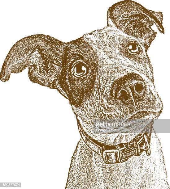 illustrations, cliparts, dessins animés et icônes de mélange de pointeur chiot sauvé de houston après l'ouragan harvey. - un seul animal