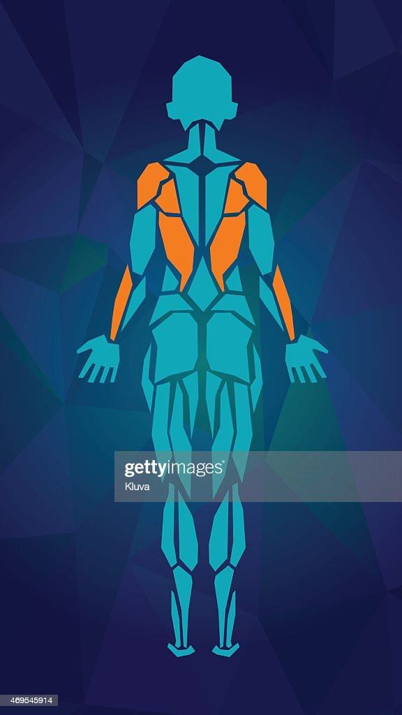 Polygonal anatomy of female muscular system. BACK view.