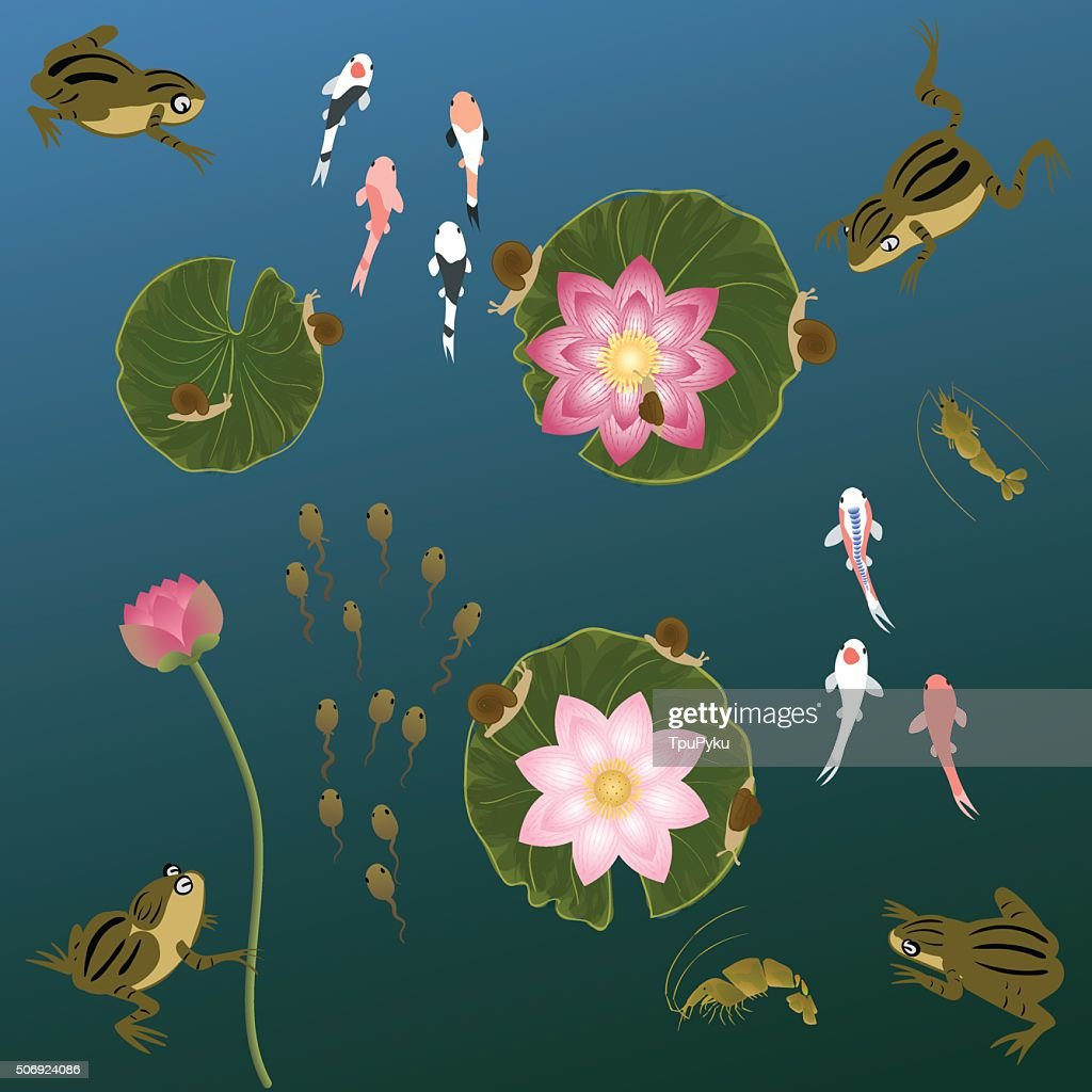 pond with whitebait carp fishes water lilies and  frog