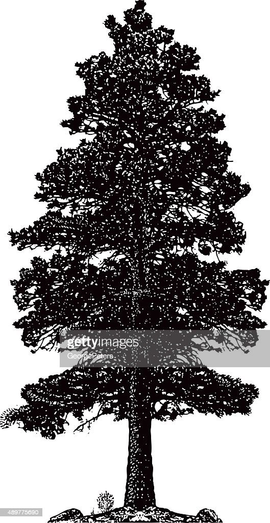 Ponderosa Pine Tree Silhouette Isolated On White : stock illustration