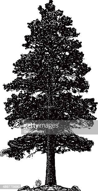 ponderosa pine tree silhouette isolated on white - coniferous tree stock illustrations, clip art, cartoons, & icons