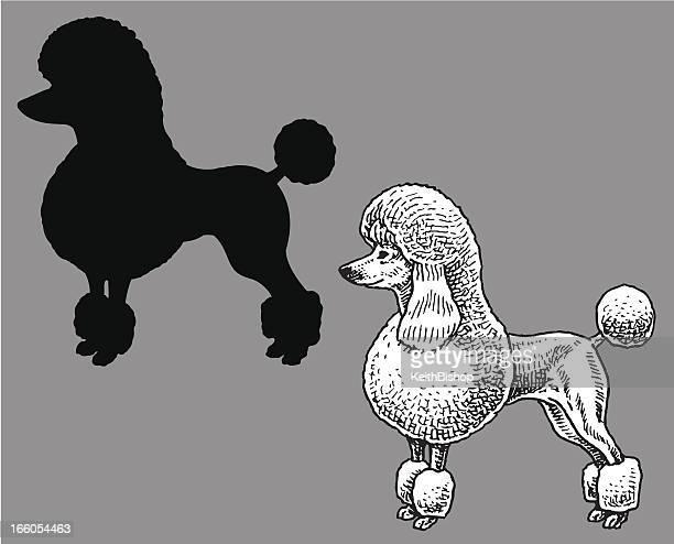 Poodle - Dog, domestic pet