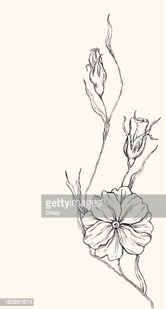 poppy drawing - poppy plant stock illustrations, clip art, cartoons, & icons