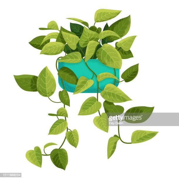 illustrations, cliparts, dessins animés et icônes de pothos houseplant - plante verte