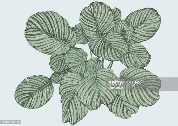illustrazioni stock, clip art, cartoni animati e icone di tendenza di foglie di palma in vaso - magnoliophyta