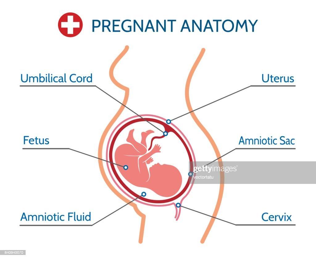 Pregnancy anatomy medical illustration