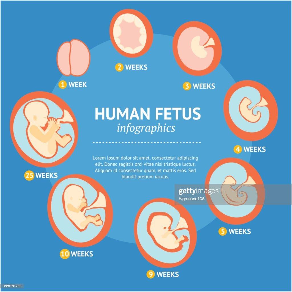 Pregnancy Fetal Growth Stage Development Infographic Menu. Vector