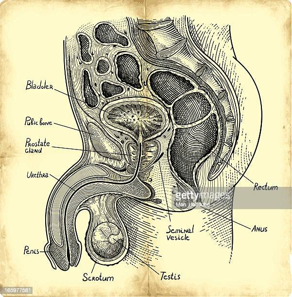 prostate gland - erection stock illustrations, clip art, cartoons, & icons