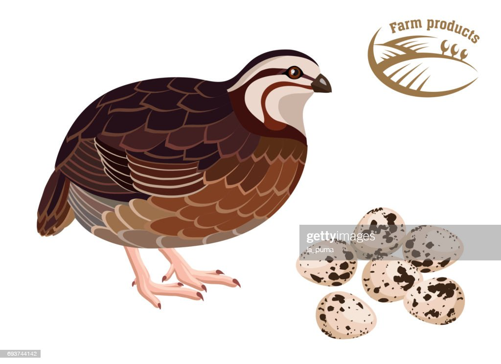 Quail. Farm products. Colored illustration