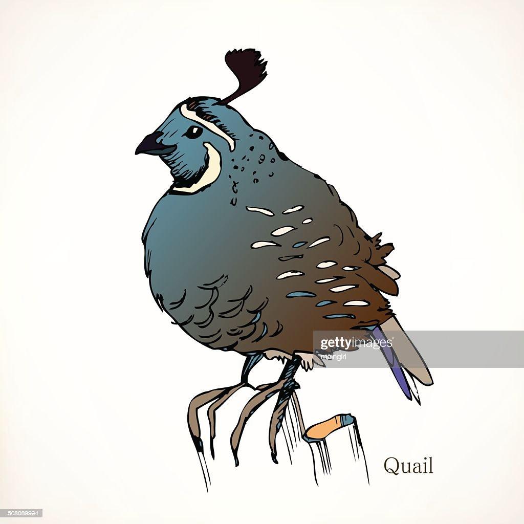 Quail, vector illustrations