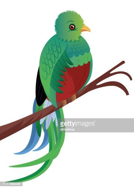 ilustraciones, imágenes clip art, dibujos animados e iconos de stock de aves quetzales - guatemala