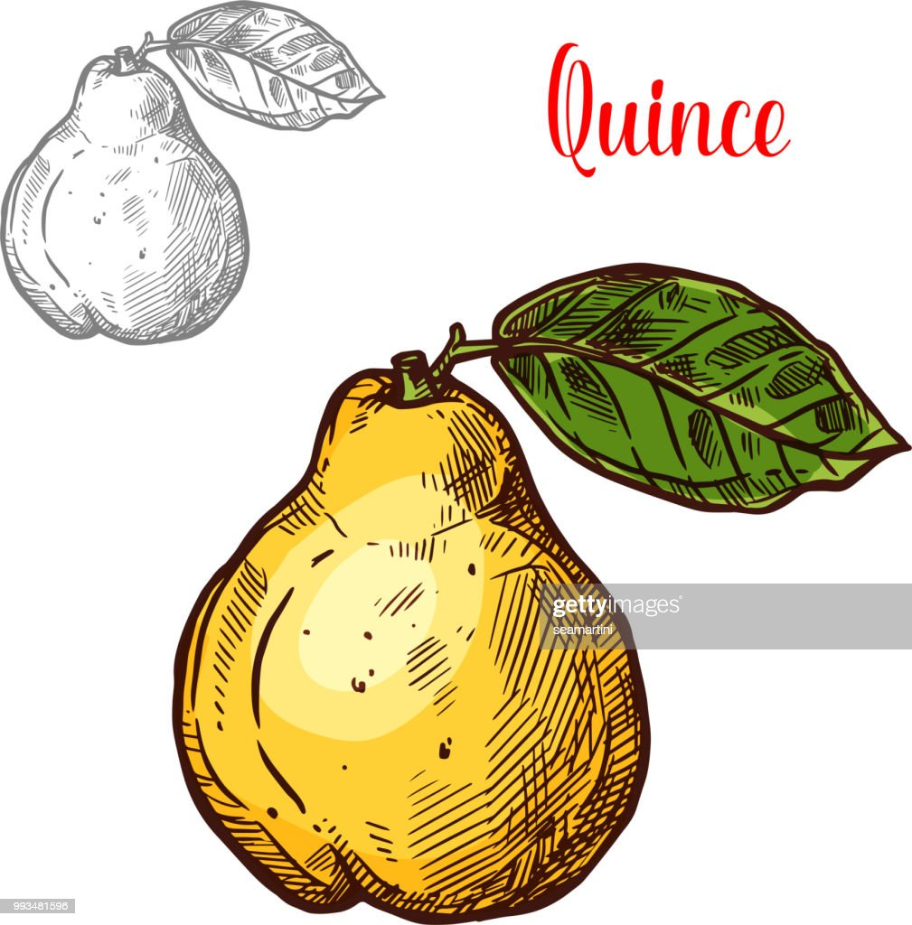 Quince vector sketch exotic fruit icon