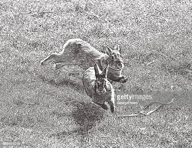 Rabbits Courting and chasing in springtime