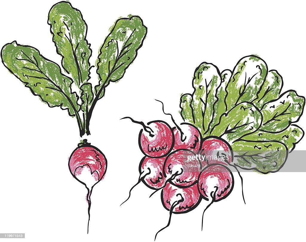 Radish and bunch of radishes