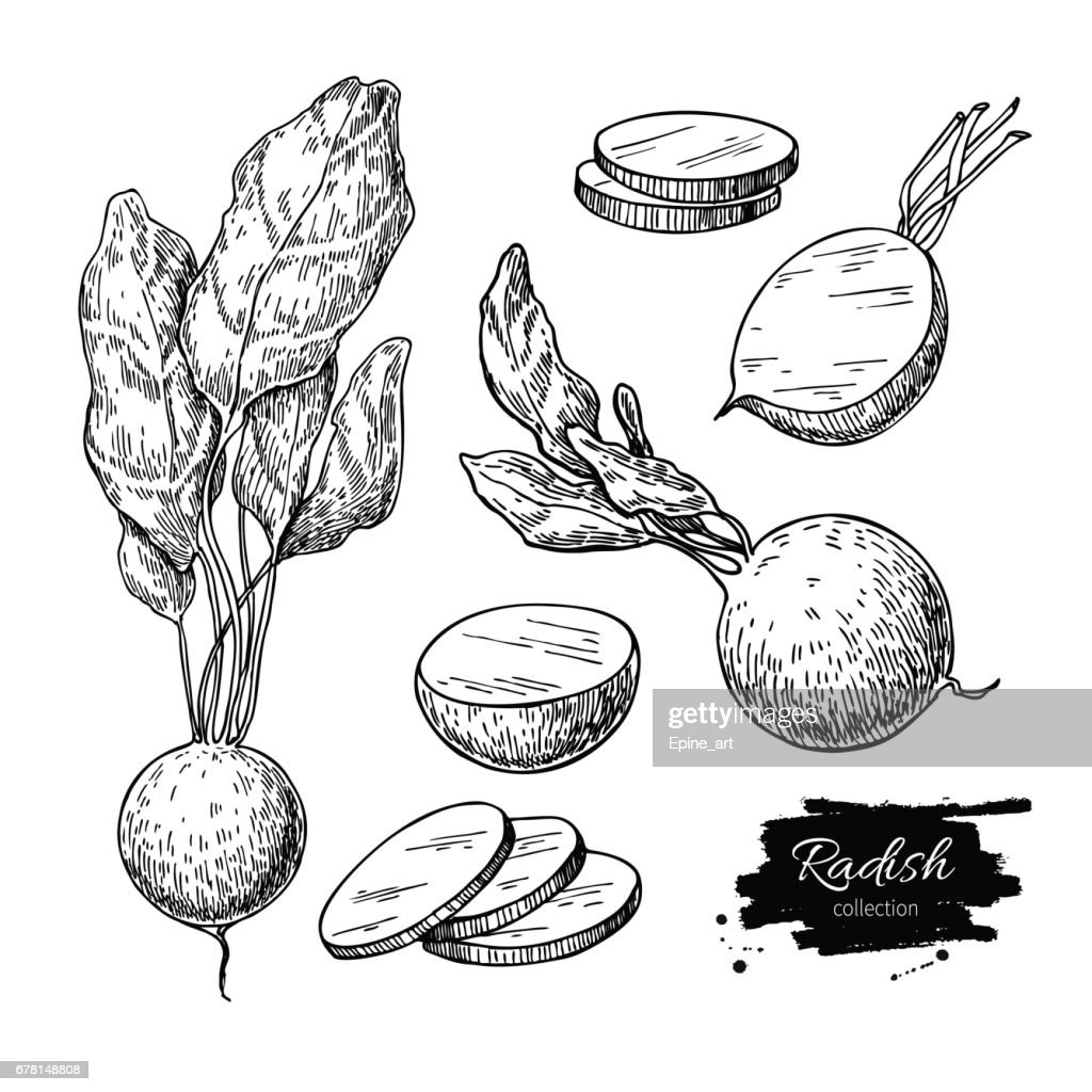 Radish hand drawn vector illustration set. Isolated Vegetable engraved style object with sliced pieces.