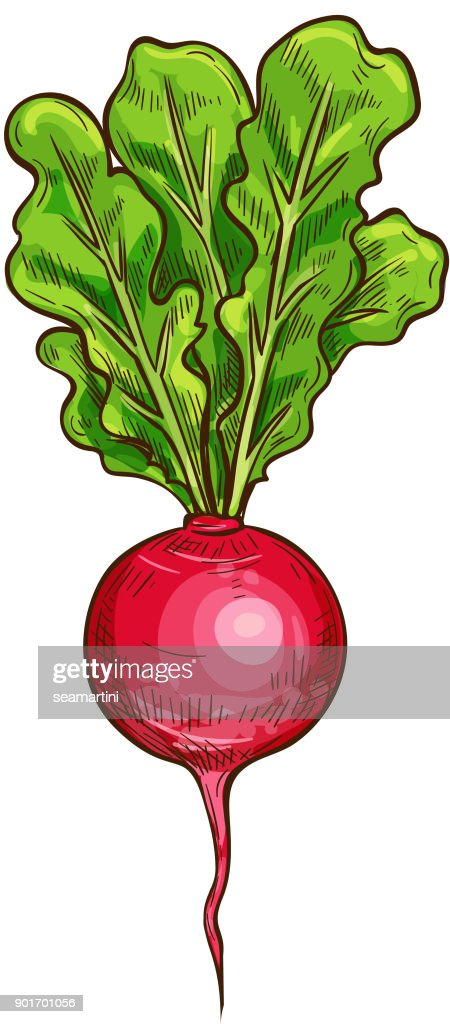 Radish vector sketch vegetable icon