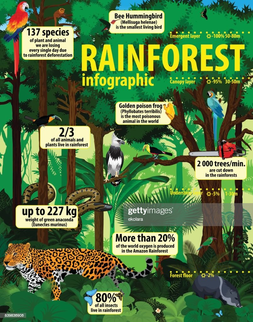 rainforest jungle infographic with animals - vector illustration