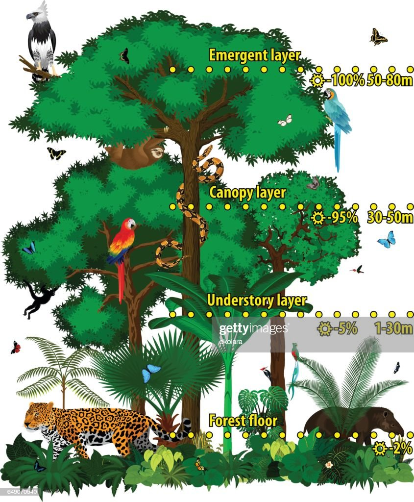Rainforest jungle layers vector illustration. Vector Green Tropical Forest jungle with different animals.