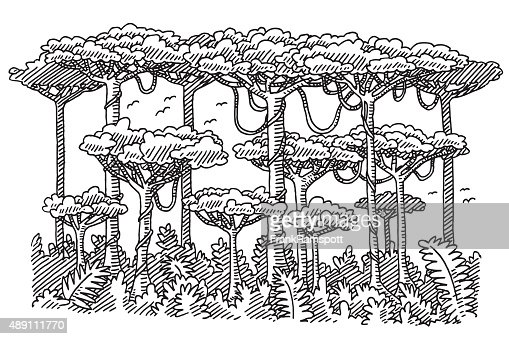 Rainforest Trees Drawing Vector Art Getty Images