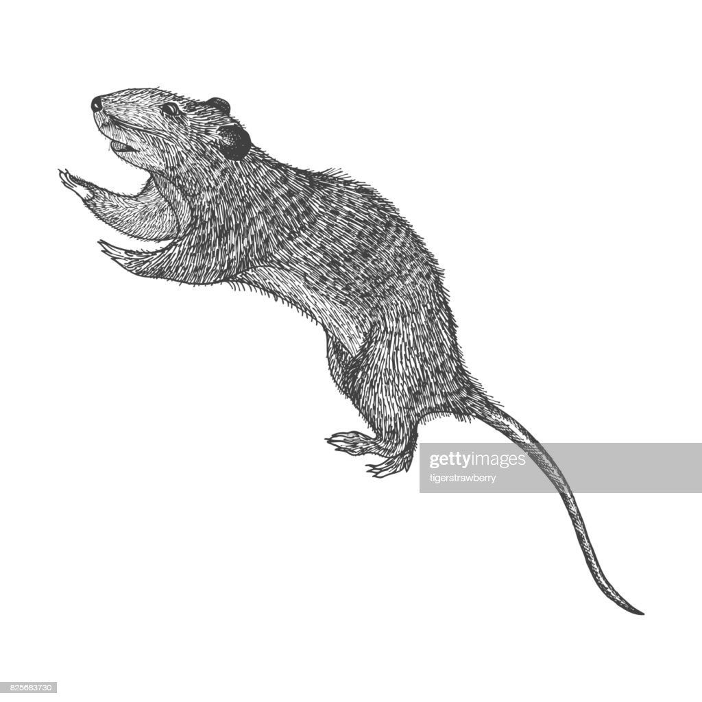 Rat hand drawn, isolated on white. Drawing sketch of the rat. Halloween, folklore black magic attribute. Vector.