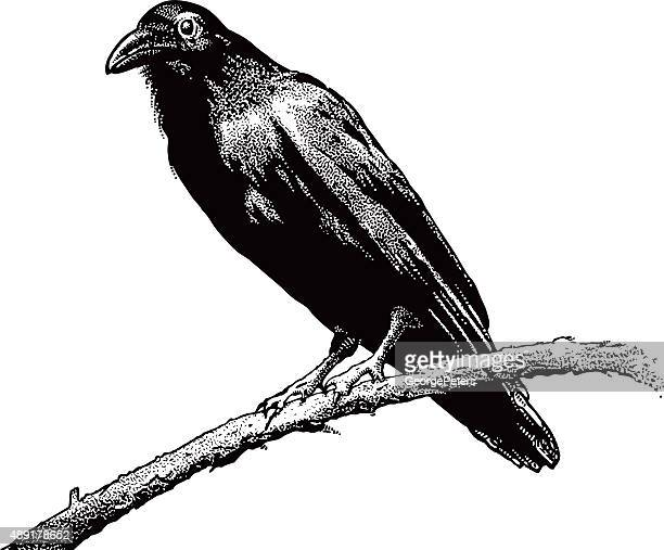 Raven, Perching, Isolated On White